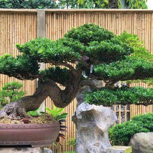 cay bonsai